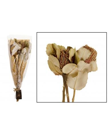 Banksia coccinea 3pc ca. 20-25cm