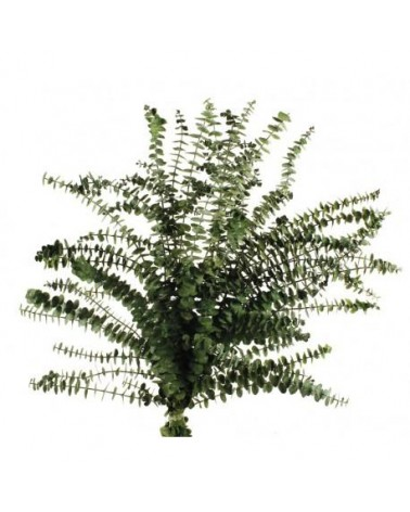 Eucaliptus Baby pres 60-70 cms, 150 grs verde